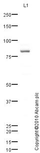 Western blot - SUN2 antibody (ab65447)