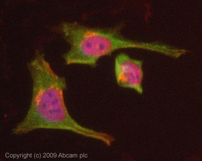 Immunocytochemistry/ Immunofluorescence - Dynamin 2 antibody (ab65556)