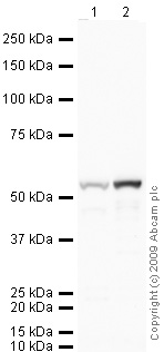Western blot - Vitamin D Binding Protein antibody (ab65636)