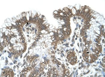 Immunohistochemistry (Formalin/PFA-fixed paraffin-embedded sections) - Anti-POFUT2 antibody (ab65738)