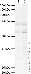 Western blot - Kv1.1 potassium channel antibody (ab65790)
