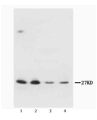 Western blot - Neurotrophin 3 antibody (ab65804)
