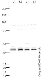 Western blot - ETV2 antibody (ab65825)