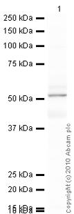Western blot - 5HT2A Receptor antibody (ab66049)