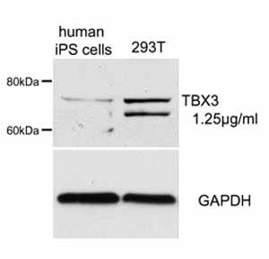 Western blot - Anti-Tbx3 antibody (ab66306)