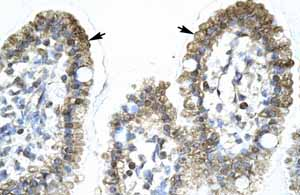 Immunohistochemistry (Formalin/PFA-fixed paraffin-embedded sections)-Anti-MYCBP antibody(ab66331)