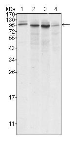 Western blot - Anti-Calnexin antibody [3H4A7] (ab66332)