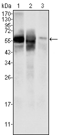 Western blot - Glucose 6 phosphate isomerase antibody [1B7D7] (ab66340)