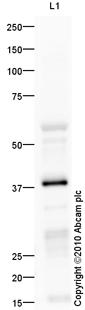 Western blot - IGRP antibody (ab66397)