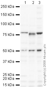 Western blot - Anti-BRD9 antibody (ab66443)