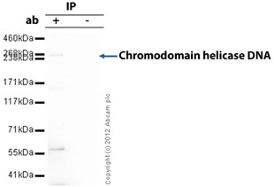 Immunoprecipitation - Anti-Chromodomain helicase DNA binding protein 5 antibody (ab66516)