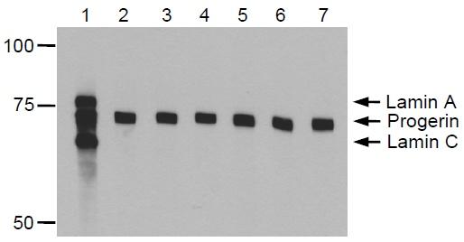 Western blot - Progerin antibody [13A4] (ab66587)