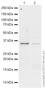Western blot - Anti-PP2A alpha + beta (methylation L309) antibody [2A10] (ab66597)