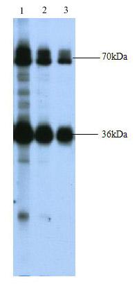 Western blot - Keap1 antibody (ab66620)