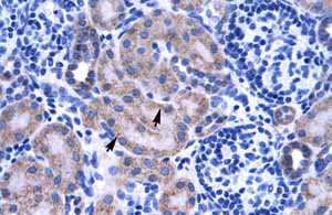 Immunohistochemistry (Formalin/PFA-fixed paraffin-embedded sections)-Anti-ZNF134 antibody(ab66646)