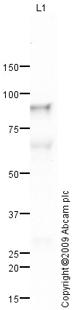 Western blot - C1s antibody (ab66762)