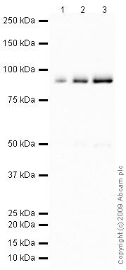 Western blot - C4b antibody (ab66791)