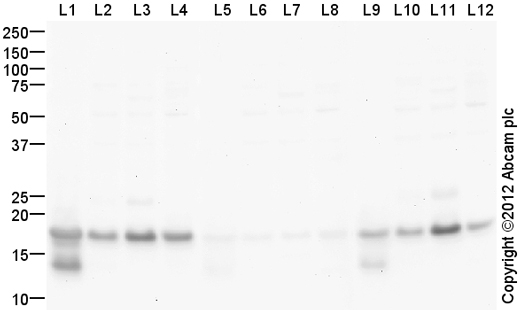 Western blot - Anti-Histone H3 (mono methyl K56) antibody (ab66857)
