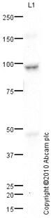 Western blot - C2b antibody (ab66999)
