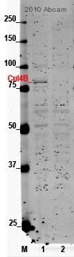 Western blot - Cullin 4B antibody (ab67035)