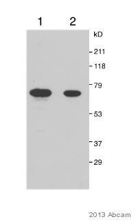 Western blot - Anti-RPE65 antibody (ab67042)