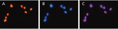 Immunocytochemistry/ Immunofluorescence - HMGB2 antibody (ab67282)