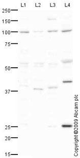 Western blot - Transportin 1 antibody (ab67352)