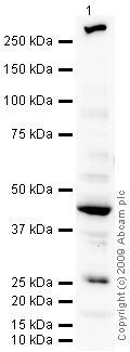 Western blot - Decorin antibody (ab67449)
