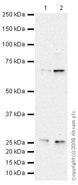 Western blot - CDKAL1 antibody (ab68045)