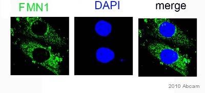 Immunocytochemistry/ Immunofluorescence - FMN1 antibody (ab68058)
