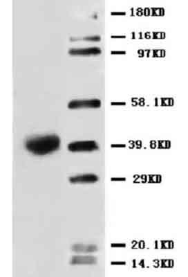 Western blot - Fas Ligand antibody (ab68338)