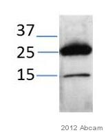 Western blot - Anti-Fas Ligand antibody (ab68338)