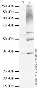 Western blot - Langerin antibody (ab68434)