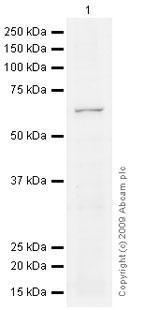 Western blot - HDAC1 antibody (ab68436)