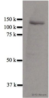 Western blot - Anti-MGEA5 antibody (ab68522)