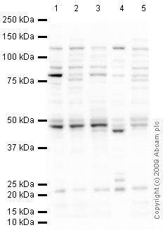 Western blot - LIS1 antibody (ab68598)