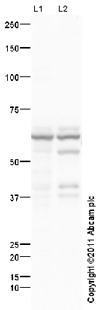 Western blot - Anti-Glucose 6 phosphate isomerase antibody (ab68643)