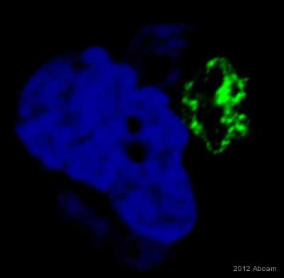Immunocytochemistry/ Immunofluorescence - Anti-GOLPH3 antibody (ab69171)