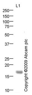 Western blot - KCNE2 antibody (ab69376)