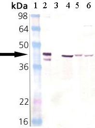 Western blot - Hsp40 antibody (ab69402)