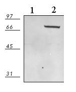 Western blot - HSPA6 antibody (ab69408)