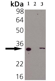 Western blot - Heme Oxygenase 1 antibody [HO-1-2] (Biotin) (ab69544)
