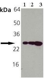 Western blot - Hsp27 antibody [G3.1] (Biotin) (ab69556)