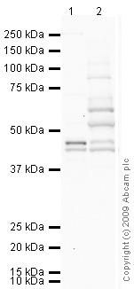Western blot - HS6ST1 antibody (ab69682)