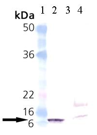 Western blot - groES antibody (ab69823)