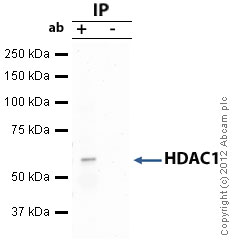 Immunoprecipitation - Anti-HDAC1 antibody - ChIP Grade (ab7028)