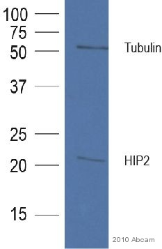 Western blot - Donkey polyclonal Secondary Antibody to Goat IgG - H&L (HRP), pre-adsorbed (ab7125)
