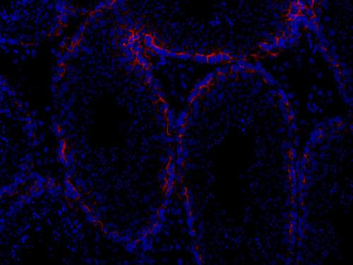 Immunohistochemistry (Frozen sections) - Anti-Oligodendrocyte Specific Protein antibody - Oligodendrocyte Marker (ab7474)