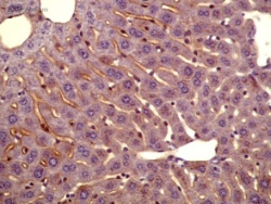 Immunohistochemistry (Formalin/PFA-fixed paraffin-embedded sections) - Apolipoprotein A I antibody (ab7614)