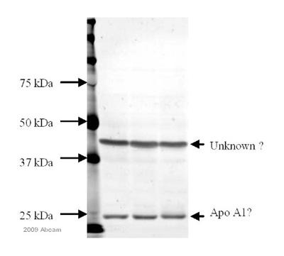 Western blot - Apolipoprotein A I antibody (ab7614)